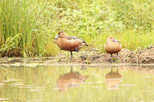 lesser whisling ducks