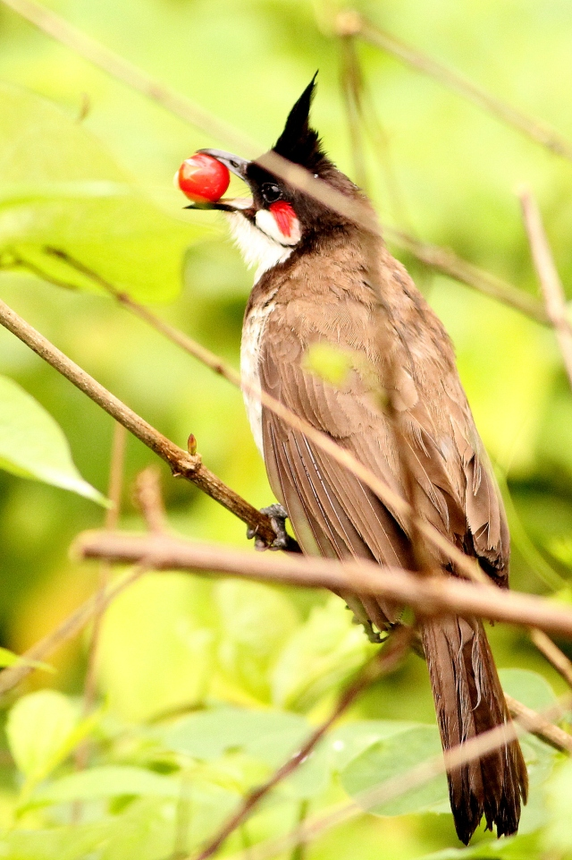 red whiskered bulbul - about to feed the child
