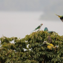 3 pairs of blue winged parakeet or Malabar Parakeet. In the background, its Banasura Dam