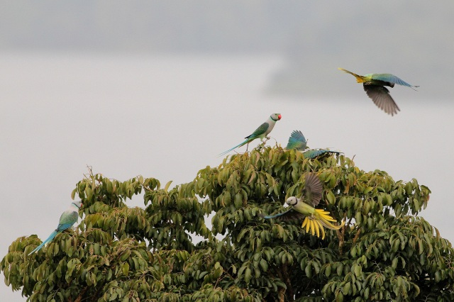 3 pairs of blue winged parakeet or Malabar Parakeet. In the background, its Banasura Dam