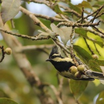 Black Lored Tit near Eddakal Caves