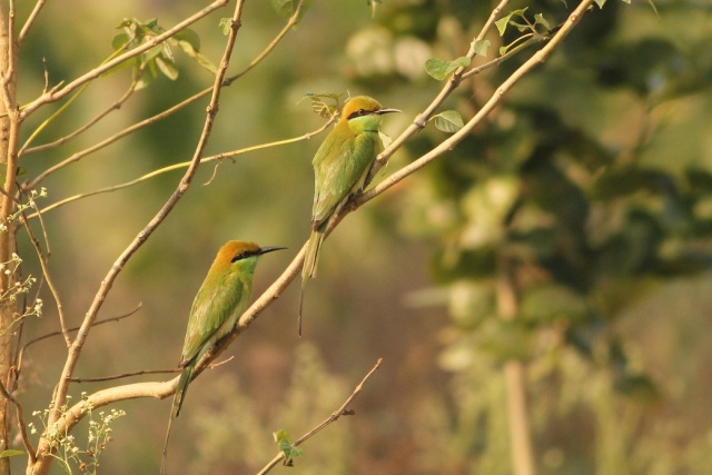 Small Green Bee-eater - Pair