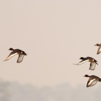 Ferruginous Duck - in flight
