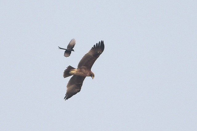 Greater spotted eagle chased by Black Drongo