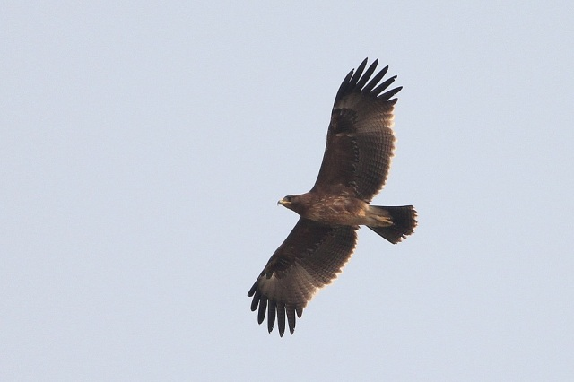 Greater spotted eagle view