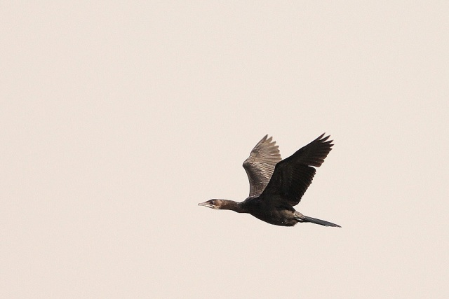 Little Cormorant in flight