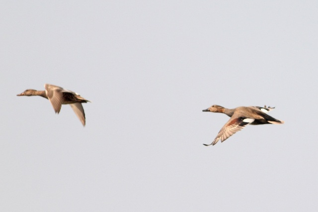 Lesser Whistling Ducks ?
