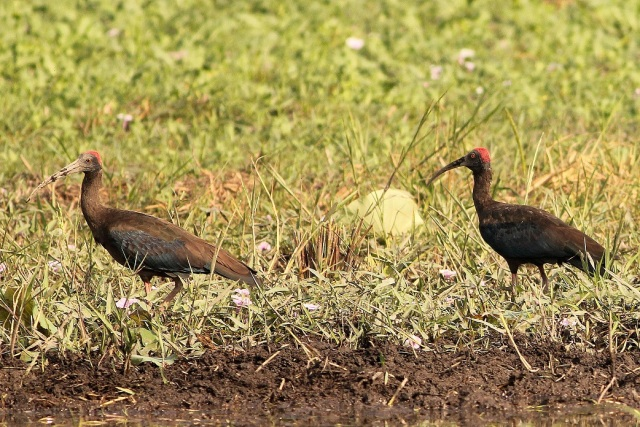 Red Napped IBIS