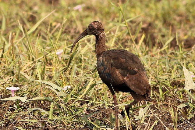 Red Napped IBIS - Juv