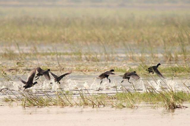 Common coots in flight