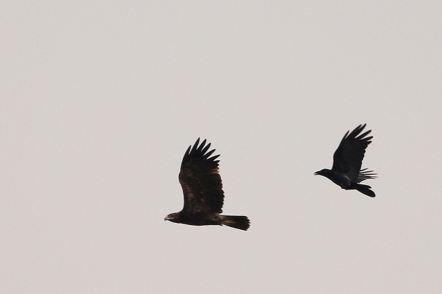Crow chase to Greater spotted Eagle