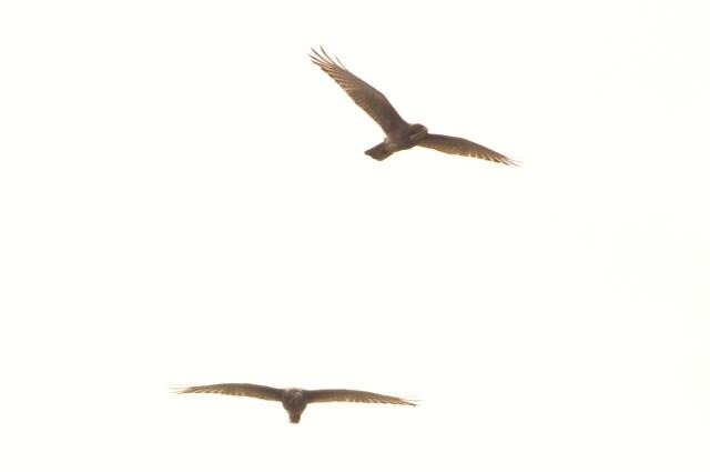 Pair of white eyed buzzard
