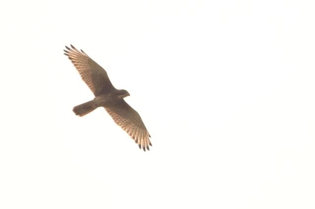 White eyed buzzard