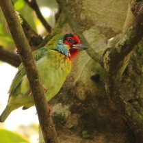 Malabar barbet near Eddakal Caves