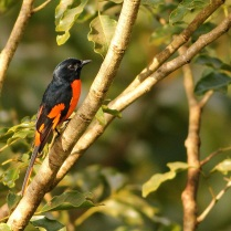Orange Minivet - Male near Banasura Dam