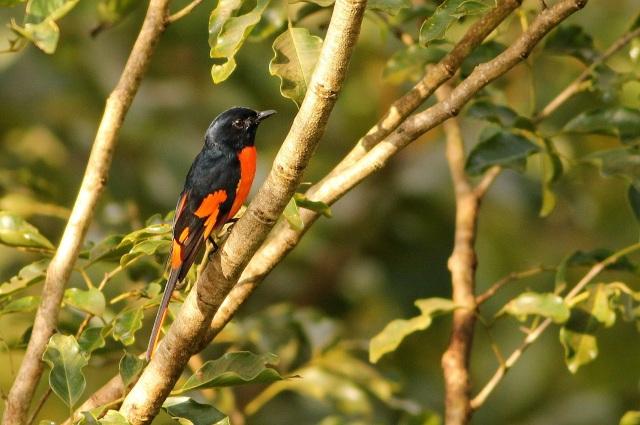 Orange Minivet - Male near Banasura Dam