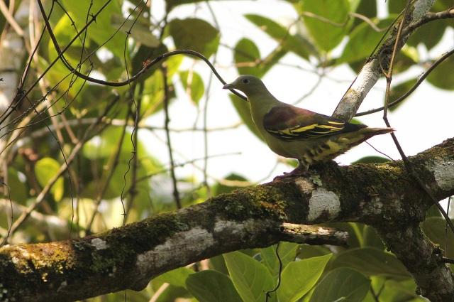 Pompadour Green Pigeon near Eddakal Caves