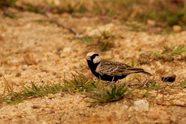 ashy crowned sparrow-lark
