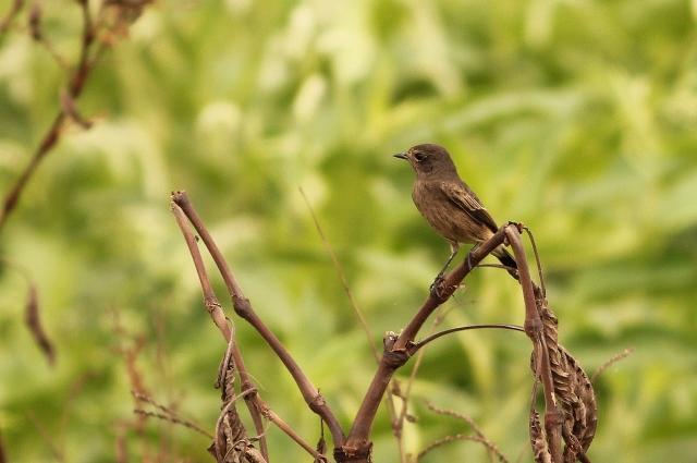 Pied Bushchat - Female