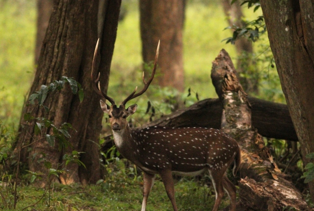 Spotted deer (Male)