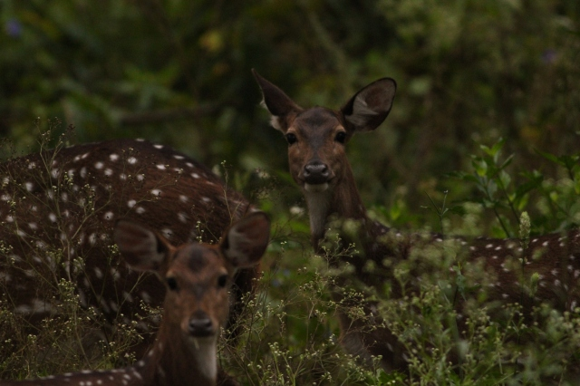 Spotted deer (Female)