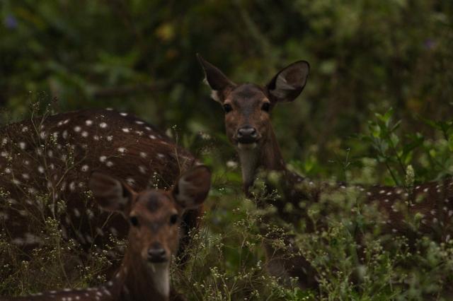 Spotted deer (Female)