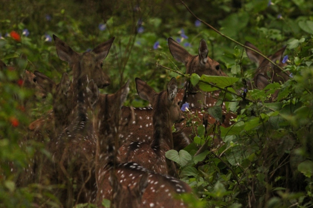 Spotted deer moving and shining in morning glory flowers