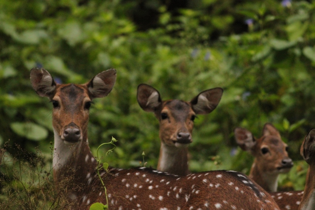 A group of spotted deer again