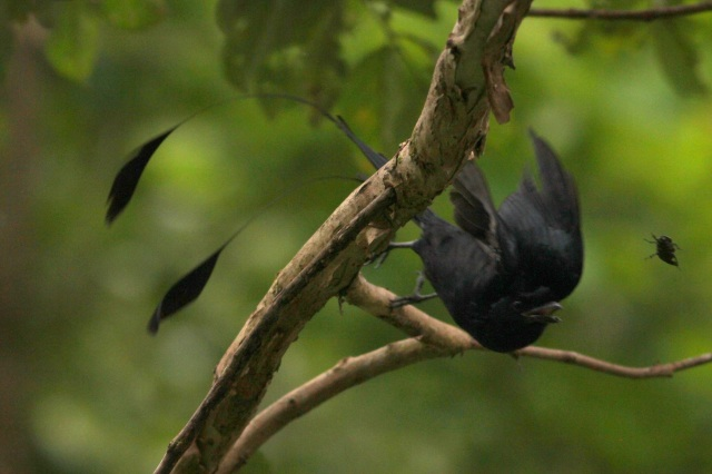 Racket tailed Drongo On for attack