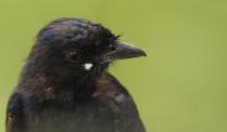 Black Drongo - Quite common across India
