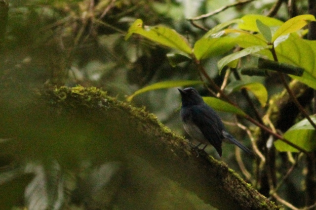 White bellied flycatcher.