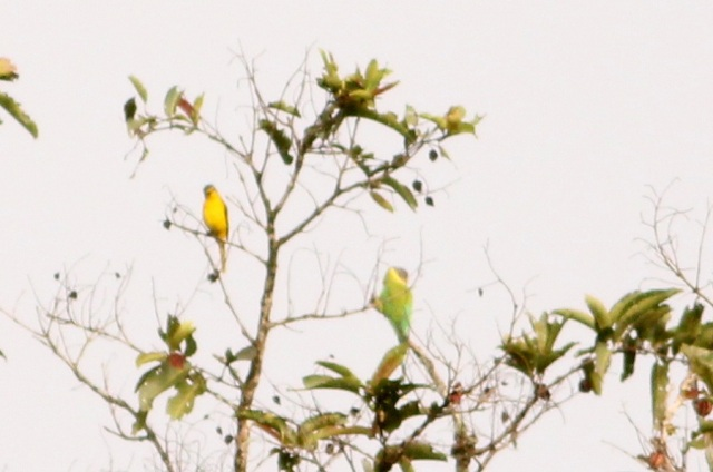Orange minivet and plum headed parakeet female.