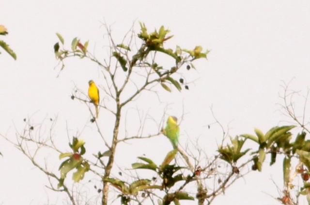 Orange minivet and plum headed parakeet female.