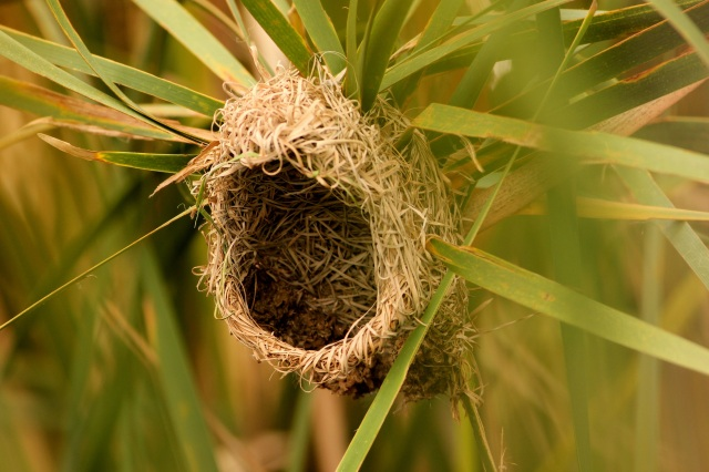 nest of streaked weaver - Loved the composition