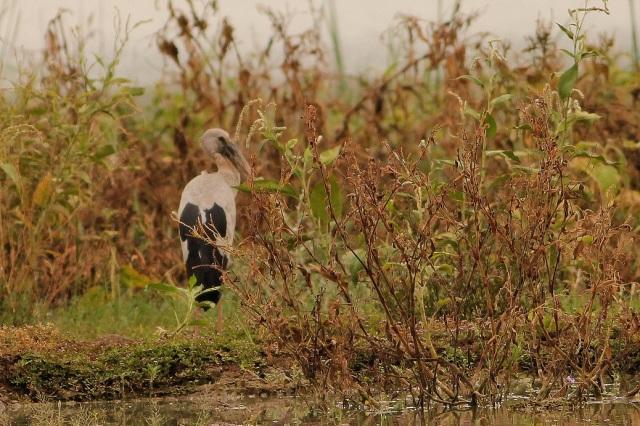 Open-Bill Stork