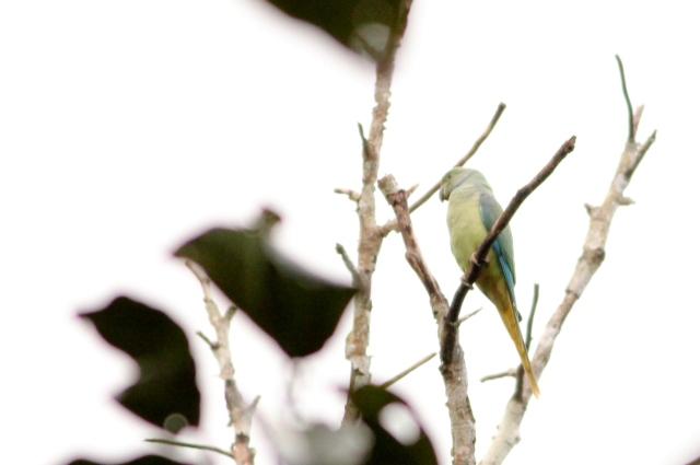 Malabar parakeet female.Very noisy parakeets.