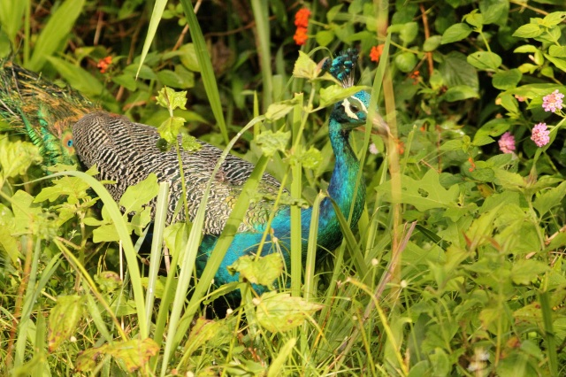 Peacock male taken in nagarhole N.P.
