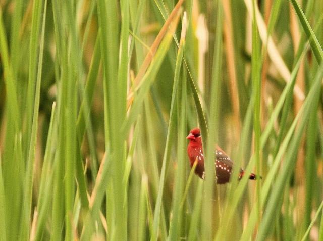 Red Munia - Male