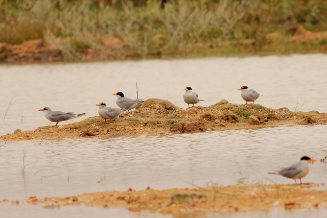Adult and Juv River Tern