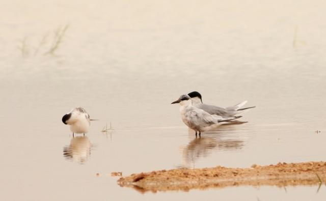 Whiskered River Tern