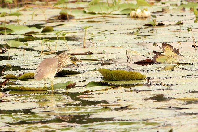 Pond Heron with its prey