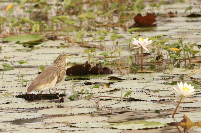 Pond Heron after gulping the fish