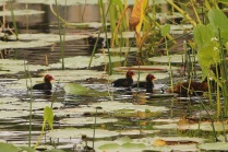 Common Coot Juv