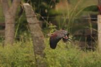 Lesser Whistling Duck in flight