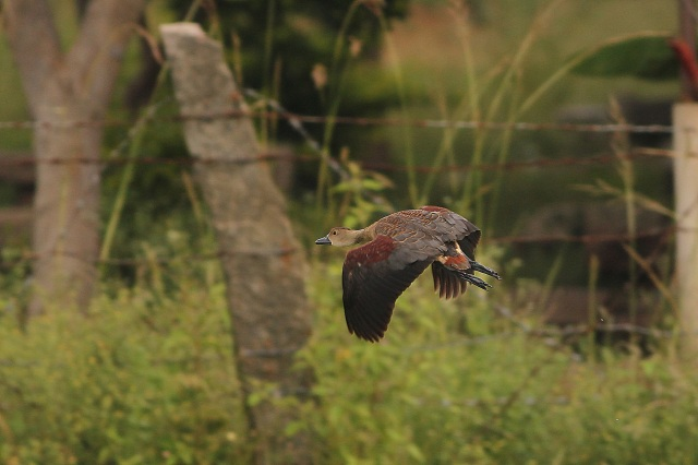 Lesser Whistling Duck in flight