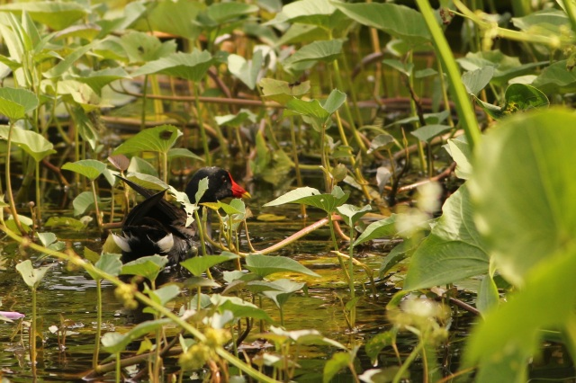 Common Moorhen Juv