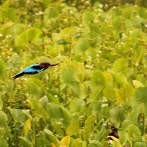 White breasted kingfisher in flight for hunt