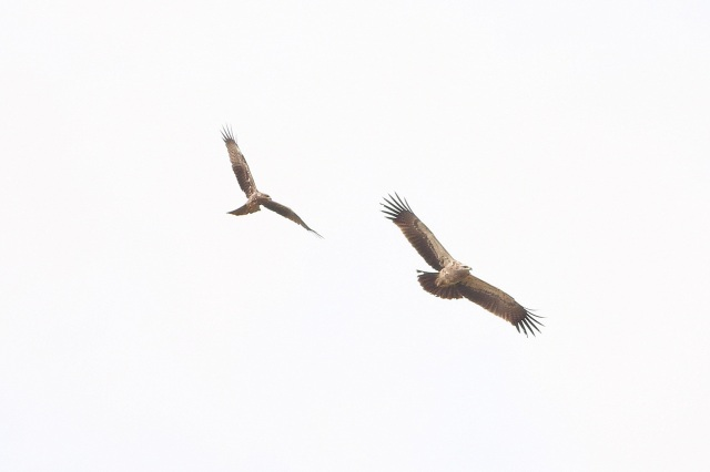 Common Kite chasing Tawny Eagle