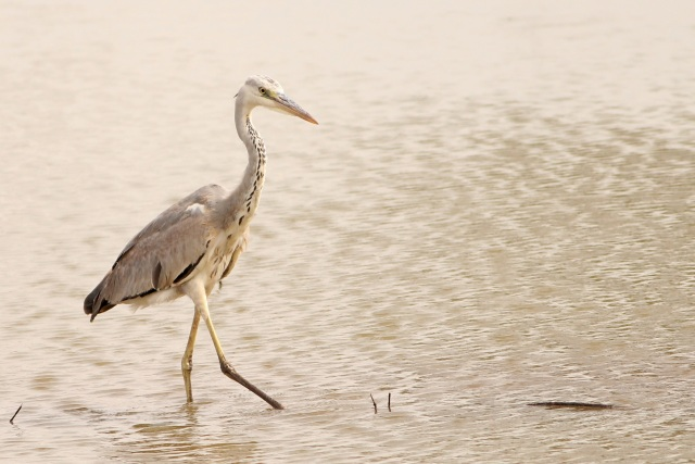 Indian grey heron