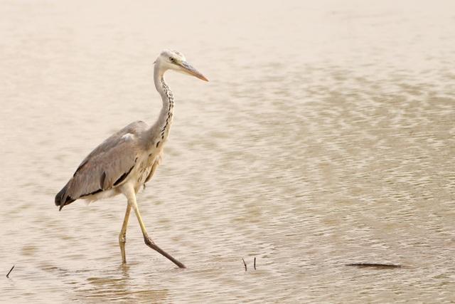 Indian grey heron